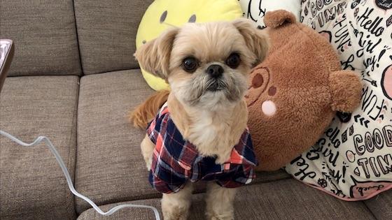チワシーむぎ「待ち時間にワンちゅーるをうまうまする子犬【ちゅ〜るしよ!】」