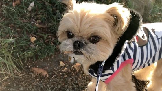 チワシーむぎ「くん活散歩中に警戒して吠える子犬【おさんぽクンクン】」