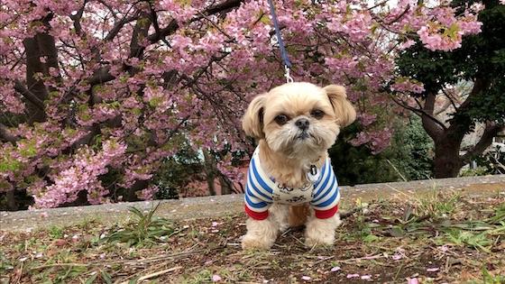 綺麗な河津桜と一緒に記念撮影しました