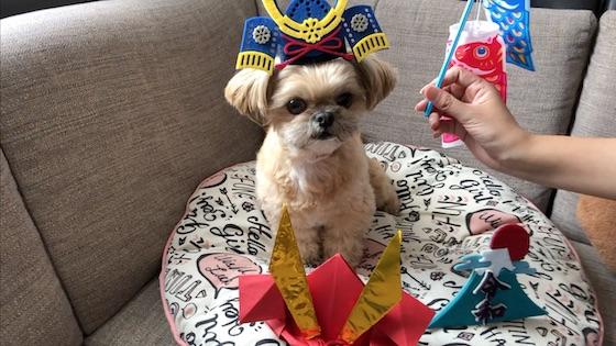 チワシーむぎ「【こどもの日】画用紙の手作り兜でモデルになる子犬」