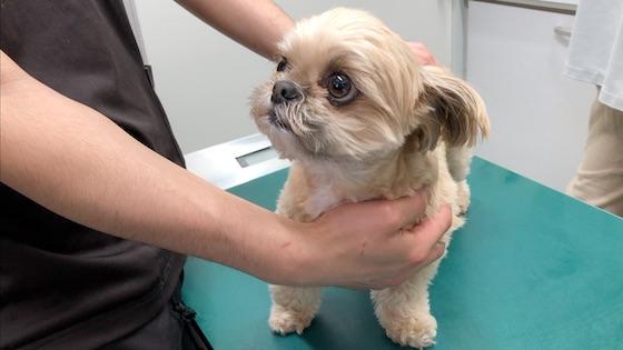 チワシーむぎ「【動物病院】大緊張!! 狂犬病予防注射とフィラリア検査を受ける」